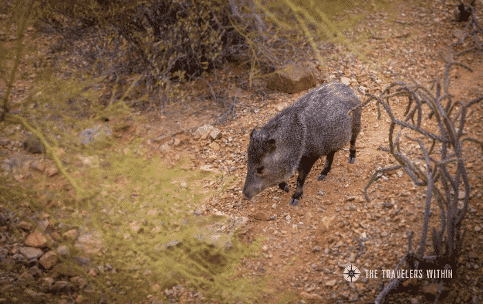Peccaries Featured In The Travelers Within