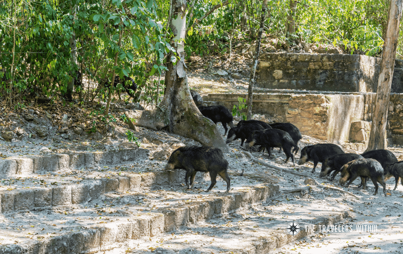 Peccaries Central America In The Travelers Within